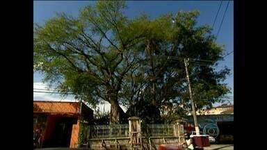 Artistas desenvolvem projeto para ajudar a salvar a 'Figueira-das-Lágrimas' - A árvore, de cerca de 200 anos, está dentro de um pequeno terreno particular na Estrada das Lágrimas, no Sacomã, na Zona Sul, cercado por um muro que ameaça cair.
