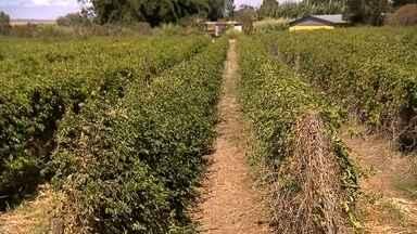 Doce é feito com a fruta típica da região - O Maracujá fica ainda mais saboroso quando se descobre que em Planaltina a produção da fruta é acima da média nacional.