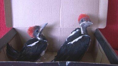 Filhotes de pica-pau são resgatados em Cacoal - Animais oram resgatados em uma obra da cidade.