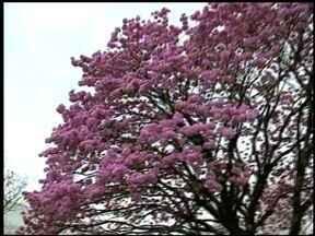 Calor no inverno antecipa colorido nas árvores - As temperaturas altas anteciparam a floração.