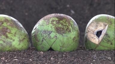 Sobra da casca de coco pode servir para a produção de adubo - A produção de coco deixa no Brasil uma sobra de milhões de toneladas de casca todo ano.