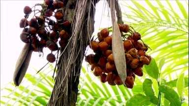 Pé de palmito pupunha pode dar frutos sem sementes - Isso é comum onde a pupunha foi introduzida e não é nativa. A pupunha depende o dos insetos para a polinização. É fundamental também que árvore tenha vários perfilhos e não dependa apenas da matriz.