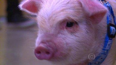 Mel Maia mostra porquinho de estimação de Além do Tempo - Atriz conta as peripécias que o animal apronta com ela dentro e fora da novela