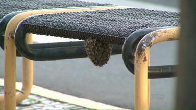 Enxame de abelhas assusta pedestres em Paranavaí - Um enxame se formou no centro da cidade e assustou algumas pessoas que passaram pelo local.