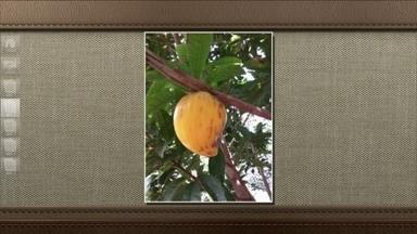 Sapota-amarela é um fruto da mesma família do sapoti - Frutos também conhecidos como gema-de-ovo têm uma polpa doce e cremosa.