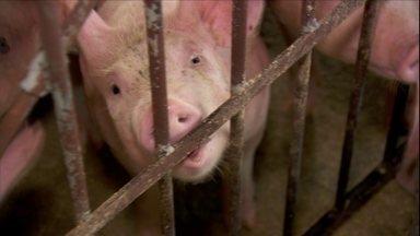 Porcos lambem e mordem correntes para se distrair no confinamento - Suínos ficam pálidos e cansados quando há falta de ferro na alimentação.