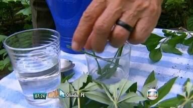 Médico naturalista ensina como usar ervas e chás corretamente - Em Casa Amarela, moradores fazem horta comunitária.