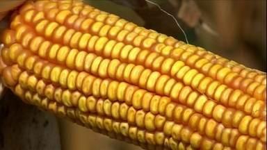 Segunda safra de milho deixa produtores satisfeitos no MS - O clima ajudou no desenvolvimento das plantas. Choveu na hora certa e na quantidade esperada. O resultado? Espigas carregadas e com grãos perfeitos.