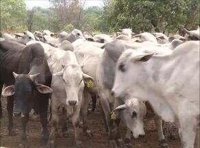 Adapec fiscaliza propriedades rurais para verificar como é feita a alimentação de bovinos - Adapec fiscaliza propriedades rurais para verificar como é feito o manejo da alimentação de bovinos