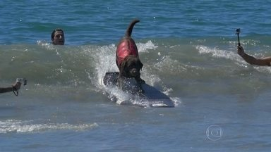 Cão labrador é o mais novo campeão mundial de surfe canino - Bono, de 5 anos de idade, ganhou o título em um torneio na Califórnia. O novo rei das ondas até deixou as patas marcadas na calçada da fama.