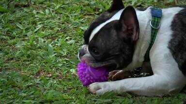 'Cão das Estrelas' - Adivinhe a dona do cachorrinho - Quem será a dona desse bulldog francês preto e branco de seis anos e meio?