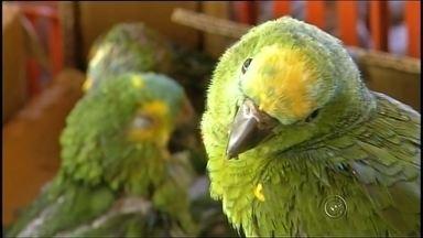 Apass recebe 139 papagaios apreendidos pela polícia em Assis - A Apass, Associação de Reabilitação de Animais Silvestres de Assis, recebeu hoje, 139 papagaios, que foram apreendidos pela polícia.