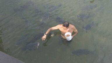 Animais selgavens são domésticados no interior de Rondônia - Tucano toma água na torneira, tambaquis comem na mão do dono e uma anta que mais parece um cão de estimação.