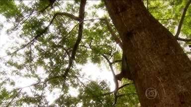 Ficar embaixo de árvores na hora do temporal é perigoso - De cada dez mortes provocadas por raios, quase uma acontece porque a pessoa estava debaixo de uma árvore.