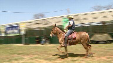 Parque do Peão de Barretos, SP, tem exposição de mulas - Mostra é gratuita e vai até domingo (11).