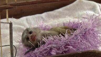 Filhote de macaco-prego é resgatado em Corumbá, MS - Segundo o Corpo de Bombeiros, o filhote teria caído de uma árvore e quando a mãe foi resgatá-lo foi atacada por cães e acabou morrendo. O macaco, de apenas 2 dias de vida, foi resgatado por militares.