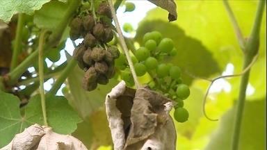Chuva e granizo causam destruição nos parreirais da Serra Gaúcha - Em Flores da Cunha, um dos municípios que mais produzem a fruta no país, metade da safra pode estar perdida.