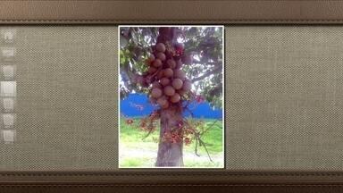 Frutos da árvore conhecida como abricó de macaco não são comestíveis - Eles não são venenosos, mas cheiram mal e apenas os animais conseguem comer. Aproveite a árvore para decorar praças e jardins.