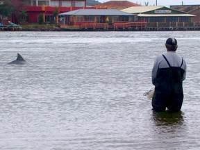 Baleia Franca - Santa Catarina tem parceria entre botos e pescadores. As cenas de laguna só se repetem em três lugares no planeta: Santa Catarina, no Brasil, Mauritânia, na África, e no litoral da Austrália. Os pescadores contam com a ajuda dos botos para pescar.