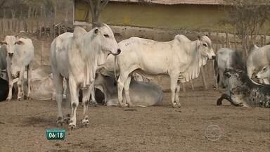 Começa segunda etapa de vacinação contra a febre aftosa para animais de PE - Estado é considerado livre da doença devido à vacinação.