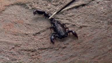 Aumenta o número de casos de picadas de escorpião em Ponta Grossa - Com as temperaturas elevadas e maior incidência de chuva, aumenta o risco de aparecimento dos escorpiões