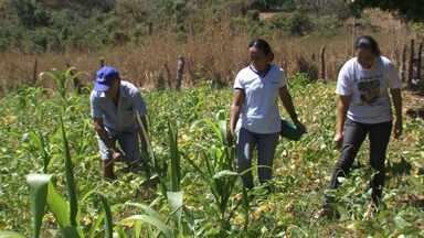 Produção de alimentos orgânicos ajuda famílias da zona rural de Barreiras - Entre os produtos plantados estão o milho, feijão e raízes.