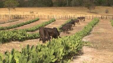 Pecuaristas de Itapetinga utilizam palma para alimentar animais - Saiba mais sobre o manejo que está ajudando a diminuir os prejuízos da seca.