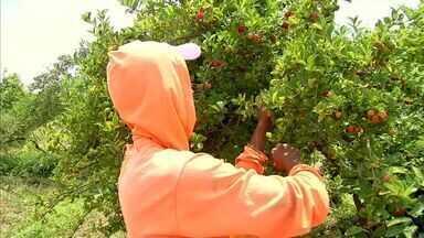Em Maranguape, agricultores irrigam terras para garantir a safra de acerola - Fruto é vendido a preços competitivos durante todo o ano.