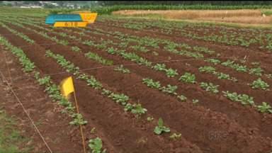 Pesquisa aumenta a produtividade e reduz o custo do cultivo da batata - Melhoramento genético produz tubérculos mais resistentes às pragas. No campo, novas variedades podem alcançar maior produtividade.