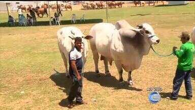 Leilões e exposições de animais de raça movimentam Feira na Expoapi - Leilões e exposições de animais de raça movimentam Feira na Expoapi