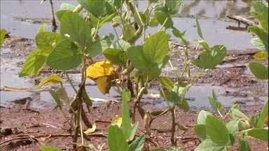 Excesso de chuva castiga produção de soja no Mato Grosso do Sul - Sul do estado é responsável por 70% da produção de soja da região. Em menos de um mês, choveu 80% do esperado para o ano inteiro. Agricultores se preocupam com estado das tradas para o escoamento da safra.