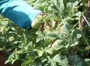 Excesso de água no solo pode prejudicar cultivação de hortaliças; entenda - Excesso de água no solo pode prejudicar cultivação de hortaliças; entenda