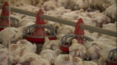 Veterinário explica causas do aumento do tamanho dos frangos vendidos no mercado - De acordo com o veterinário Alex Macorim, uma das principais ferramentas para proporcionar o alto desempenho é o melhoramento animal através do melhoramento genético.