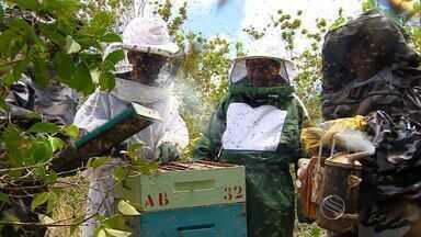 Colheita de mel é realizada em Sergipe - Colheita de mel é realizada em Sergipe.