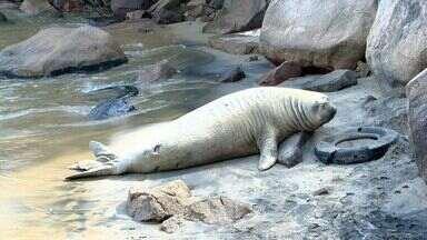 Elefante marinho 'Fred' retorna em praia de Vila Velha, no ES - Animal foi identificado por causa das cicatrizes que tem pelo corpo.Elefante marinho recebeu apelido por não se mexer muito.