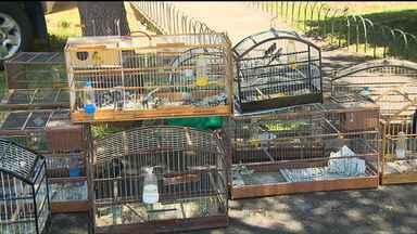 Aves mantidas em cativeiro são apreendidas em Araucária - Segundo a Guarda Municipal, as 55 aves seriam vendidas ilegalmente