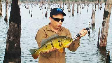 Pesca em Balbina - Pescaria no paliteiro que se formou na represa de Balbina rende belos tucunarés.