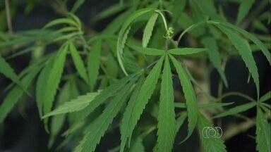 Polícia encontra 10 pés de maconha em casa de adolescente, em Goiânia - O adolescente foi apreendido pela Rotam suspeito de traficar a maconha. Ele também tinha um simulacro e porções da droga pronta para consumo.
