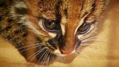 Selvagem gato-do-mato - Felino resgatado em canavial muda a rotina da família de um consultor imobiliário em Limeira (SP).
