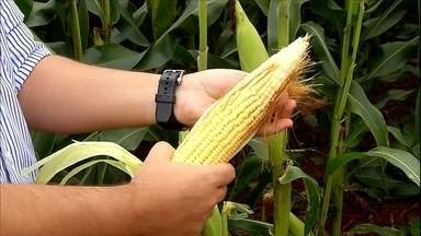 Colheita do milho em MG começa com o que vai servir para silagem - As máquinas já estão na lavoura para garantir a alimentação dos animais. Estimativa é que produção seja 5% menor, em torno de 5,2 milhões de toneladas.