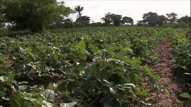 Chuva anima agricultores de várias regiões do Nordeste - Muitos plantaram antes da época ideal e, apesar da previsão de tempo mais seco até a colheita, o clima é de otimismo.