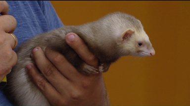 Furão de estimação? Sim! - Achou que o Furão é um roedor? Pois não é, o Furão é uma mamífero.