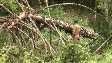 Polícia encontra área de desmatamento ilegal em Palmas. - No local haviam pelo menos cinco pontos de extração ilegal de madeira.