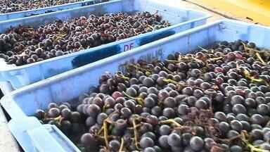Lei que rege importação de bebidas derivadas da uva gera discussão entre empresários - Com a quebra na safra, alguns produtores têm medo que falte uva.