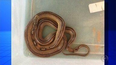 Cobra é encontrada dentro de caixa do Sedex em agência dos Correios em Rio Preto - Uma cobra foi apreendida dentro de uma caixa de Sedex nesta terça-feira (22) em uma agência dos Correios, em São José do Rio Preto (SP). A apreensão foi feita pelo Instituto Brasileiro do Meio Ambiente (Ibama).