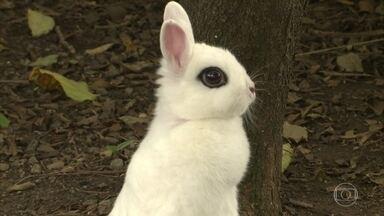 Entenda as características dos minicoelhos - Veterinário explica também como é a reprodução dos coelhos
