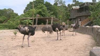 Veja como é feita a criação de avestruz em uma fazenda de Manaus - Criador se dedica a criação do animal há mais de 15 anos.