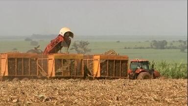 Começa a colheita da cana-de-açúcar no Centro-Sul - Setor deve ter crescimento de 5% na safra. Colheita deve ficar entre 610 e 630 milhões de toneladas.
