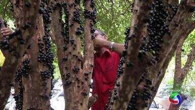 Manejo das jabuticabeiras ajuda a aumentar a produtividade - A colheita é só setembro. Época agora é de adubar e podar os pés. Descubra como isso é feito na propriedade referência da cultura em Juscimeira, sudeste de MT.