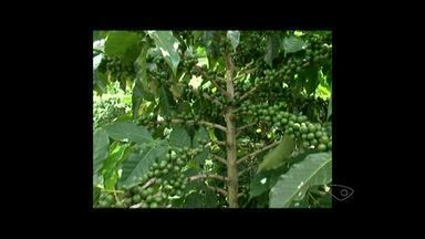 Colheita do café arábica será melhor do que a de 2015 em Iúna no Sul do ES - Cerca de 14 mil pessoas trabalham no cultivo do café de forma direta ou inderata em Iúna.